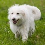 Долли Партон обещала приютить у себя собачку, которая потерялась на фестивале Glastonbury